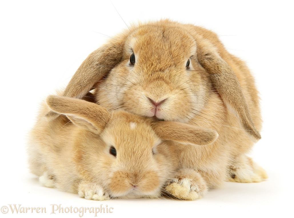 Sandy Lop doe rabbit and baby, white background