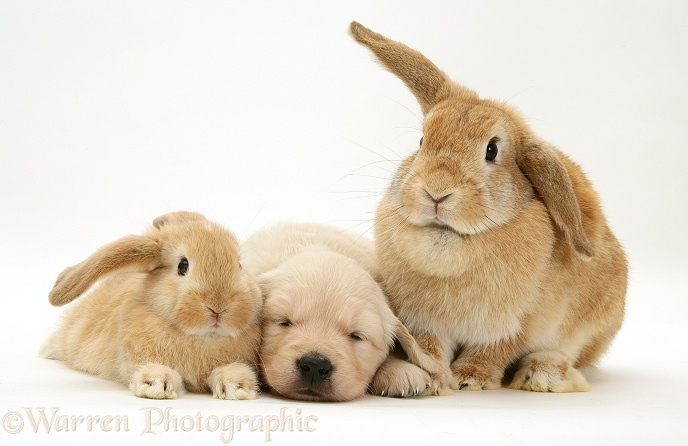Sandy Lop doe and baby rabbit with Golden Retriever pup, white background