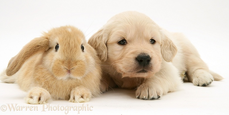 Baby sandy Lop rabbit with Golden Retriever pup, white background