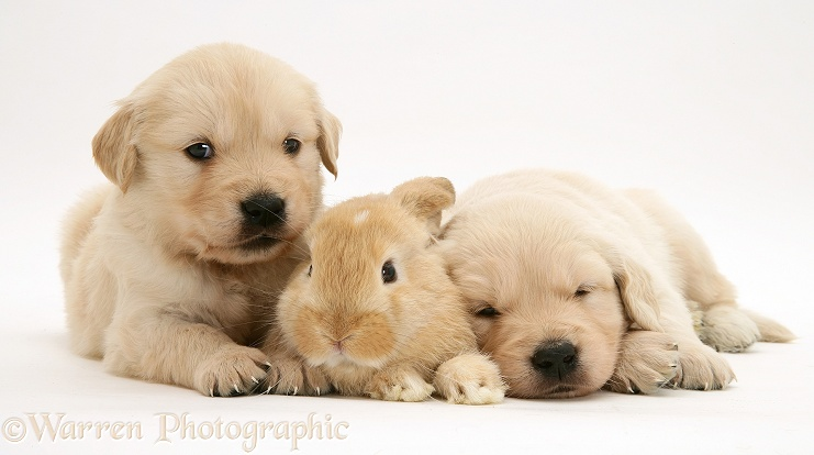 Baby sandy Lop rabbit with Golden Retriever pups, white background