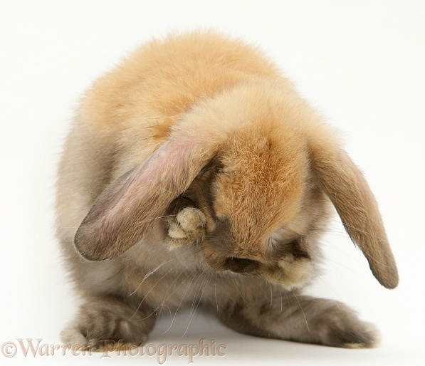 Sooty-fawn baby Lop rabbit, washing, white background