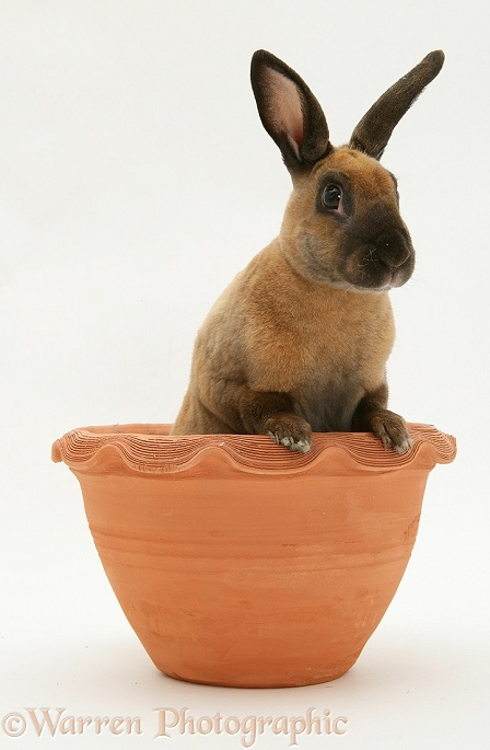 Sooty-fawn Dwarf Rex rabbit in an earthenware pot, white background