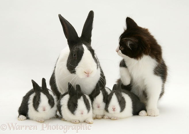 Black-and-white kitten with blue Dutch rabbit and four babies, 3 weeks old, white background
