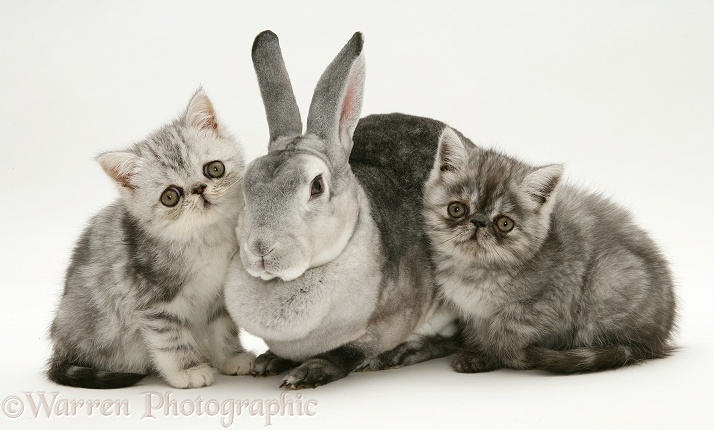 Silver Exotic kittens with silver Rex rabbit, white background