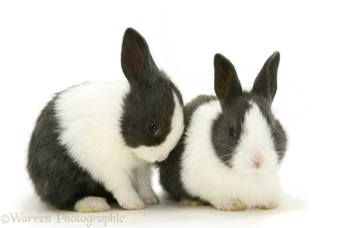 Baby blue Dutch rabbits, 3 weeks old, white background