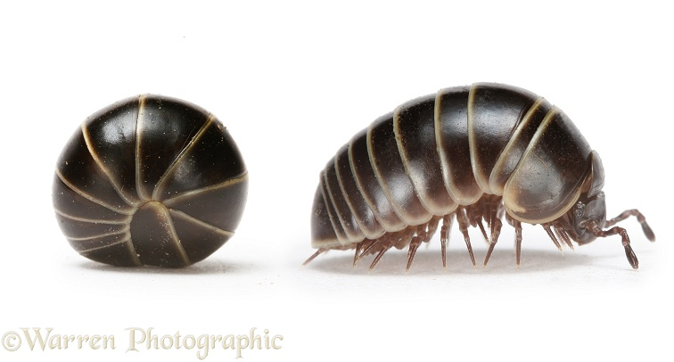 Pill Millipede (Glomeris) rolled and beginning to walk away, white background