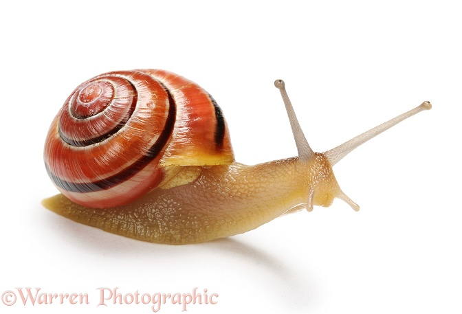 Brown-lipped Banded Snail (Cepaea nemoralis), juvenile, white background
