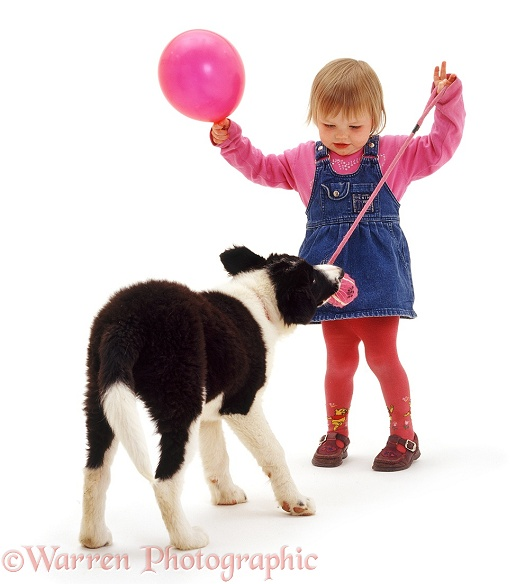 Giselle (2) with balloon, playing tug with Border Collie pup Phoebe, white background