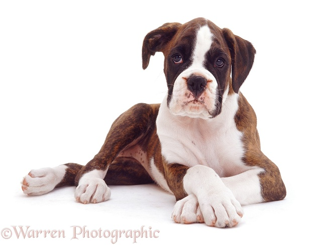 Brindle-and white Boxer pup Carrey, 9 weeks old, lying with front paws crossed, white background