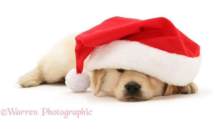 Golden Retriever pup under Father Christmas hat, white background