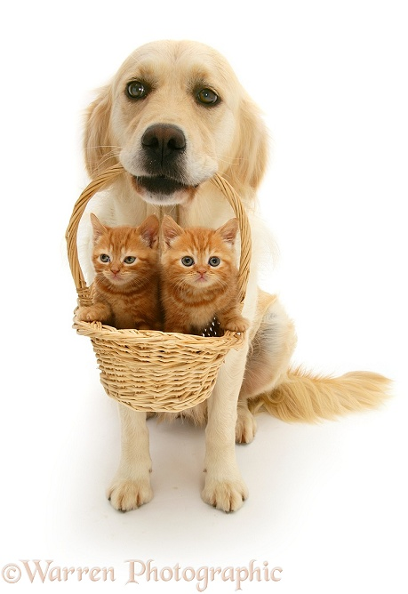 Golden Retriever bitch Lola with ginger kittens in a basket, white background