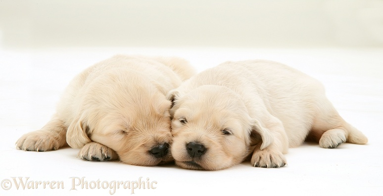 Golden Retriever pups asleep, white background