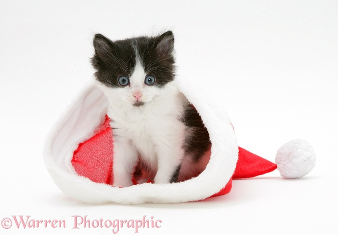 Black-and-white kitten in a Father Christmas hat, white background