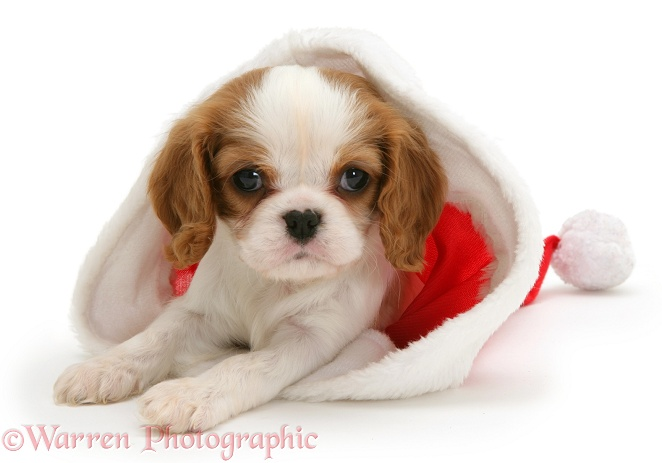 Blenheim Cavalier King Charles Spaniel pup in a Father Christmas hat, white background