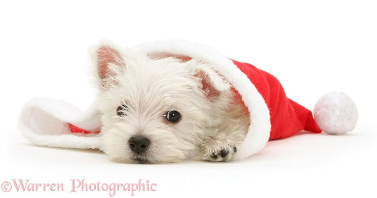 West Highland White Terrier pup in Santa hat, white background