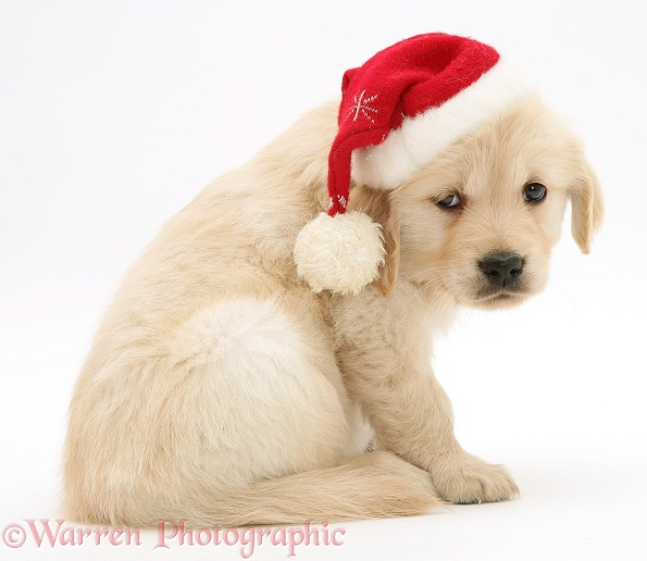 Golden Retriever pup wearing a Santa hat, white background