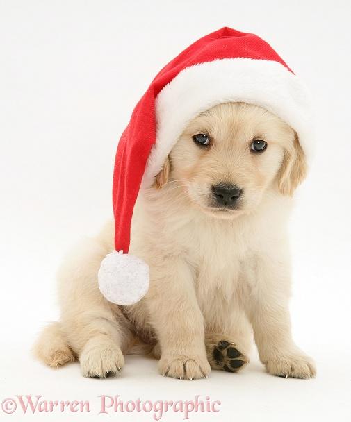 Dog golden retriever pup wearing a santa hat photo wp10689