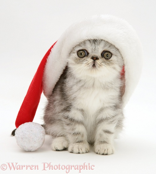 Blue-silver Exotic kitten in a Santa hat, white background