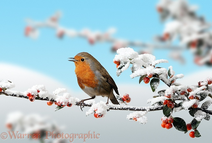 European Robin (Erithacus rubecula) singing on snowy Cotoneaster