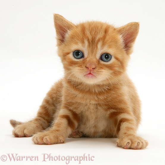British shorthair red tabby kitten, white background