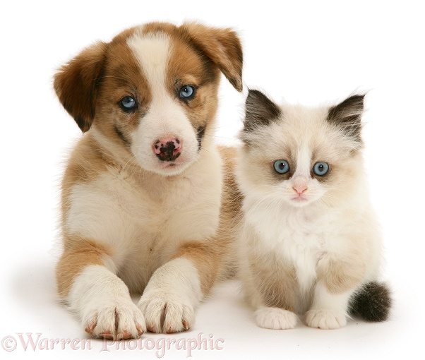 Blue-eyed red merle Border Collie, Zebedee, puppy with Birman-cross kitten, white background