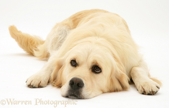 Golden Retriever bitch, Lola, lying chin on floor, white background