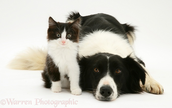 Black-and-white Border Collie bitch, Phoebe, lying chin on floor with black-and-white kitten, white background