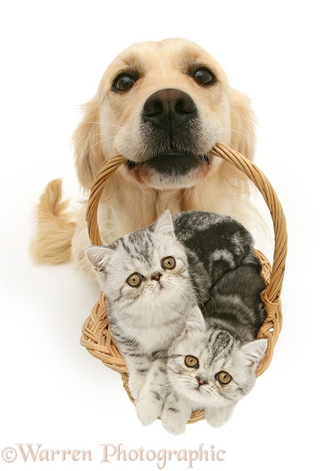 Golden Retriever bitch Lola with silver Exotic kittens in a basket, white background