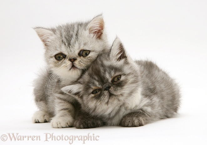 Smoke and silver Exotic shorthair kittens, white background