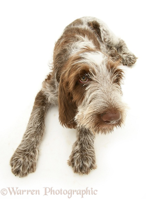 Brown Roan Spinone pup Wilson, 12 weeks old, lying with head up, white background