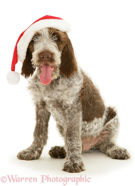 Brown Roan Spinone pup Wilson, 12 weeks old, with Father Christmas hat on, white background