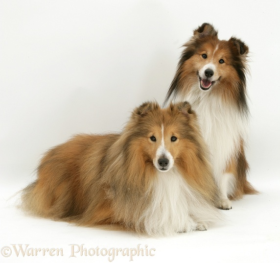 Two Sable Shetland Sheepdogs, white background