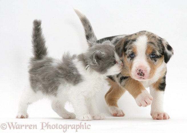 Border Collie pup and kitten, white background