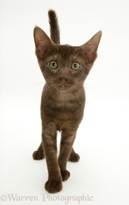 Brown Oriental-type kitten, white background