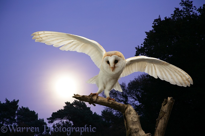 Barn Owl (Tyto alba) at moonrise.  Worldwide