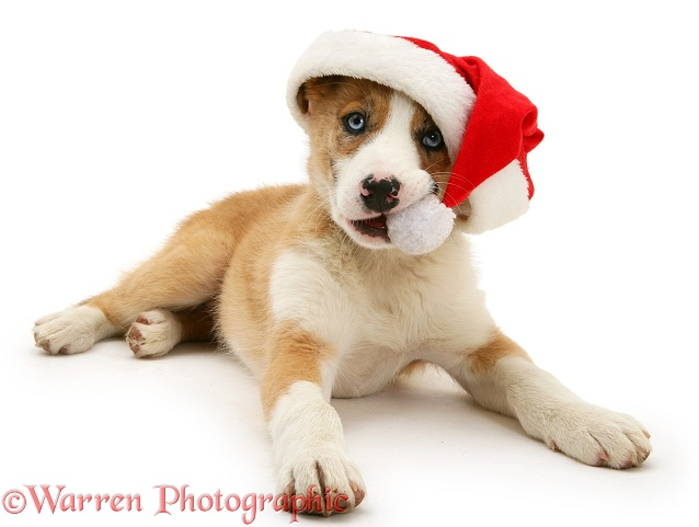 Border Collie pup, Zeb, chewing the bobble of his Father Christmas hat, white background