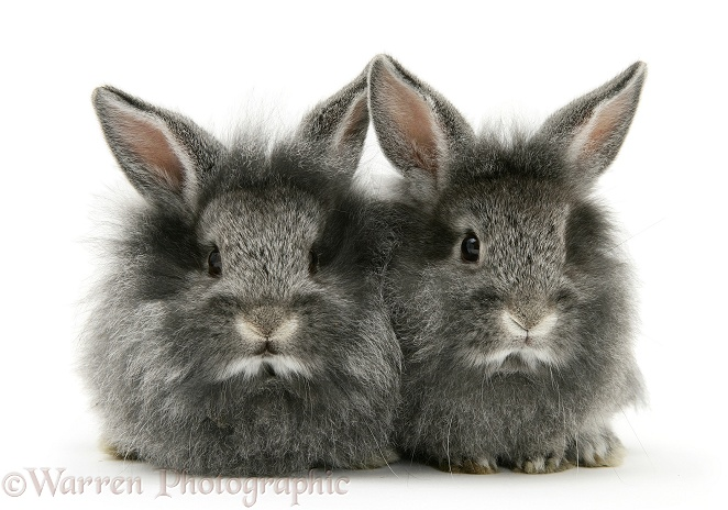 Baby silver Lionhead rabbits, white background