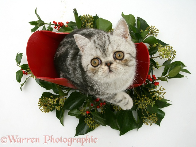 Blue-silver Exotic Shorthair kitten in a miniature sledge with holly and ivy, white background