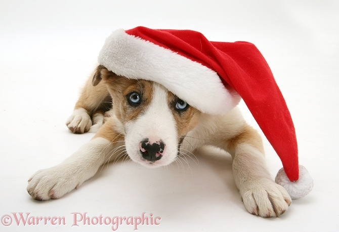 Blue-eyed red merle Border Collie pup, Zeb, wearing a Father Christmas hat, white background