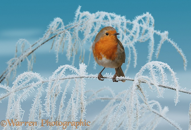 European Robin (Erithacus rubecula) with frosty sedge.  Europe