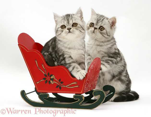 Blue-silver Exotic Shorthair kittens in a miniature sledge, white background