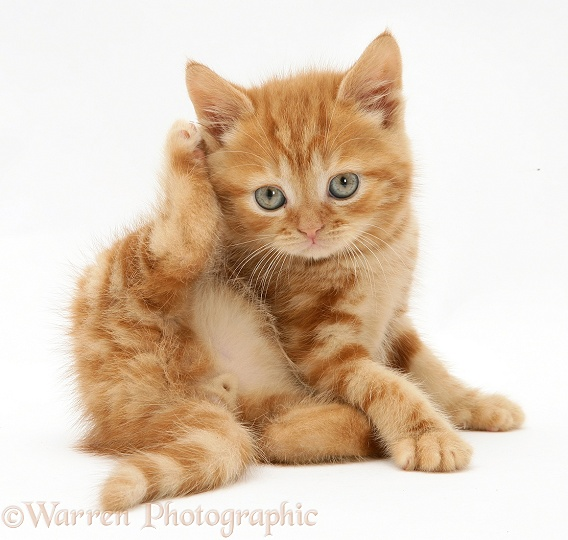 Red tabby British Shorthair kitten scratching its ear, white background