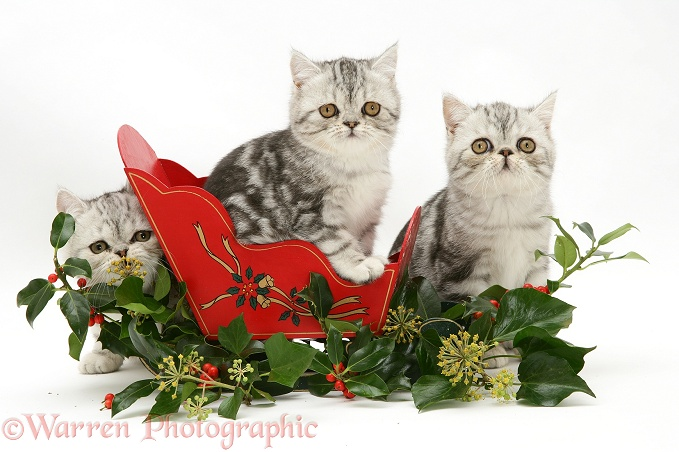 Blue-silver Exotic Shorthair kittens in a miniature sledge with holly and ivy, white background