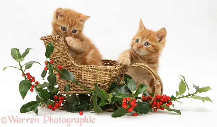 Red tabby British Shorthair kittens with a festive gold sledge and holly, white background