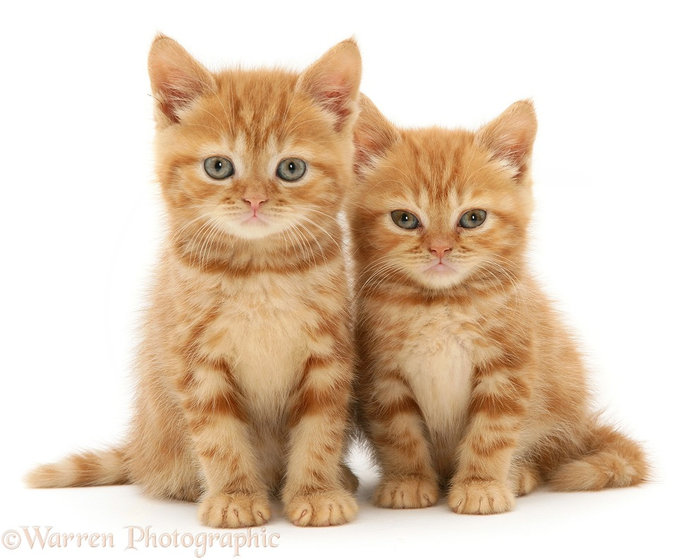 Red tabby British Shorthair kittens, white background