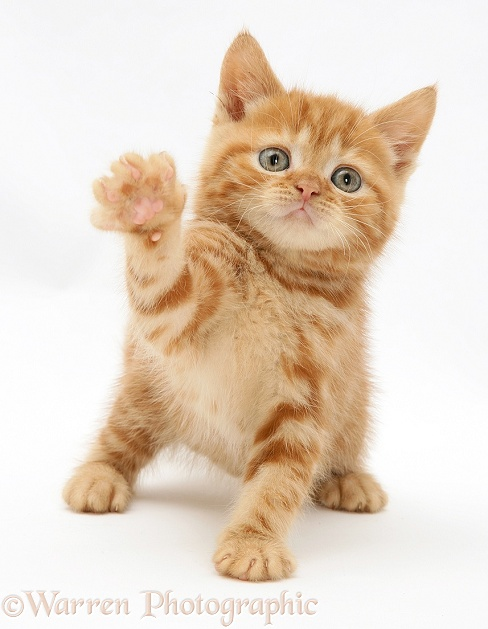 Red tabby British Shorthair kitten, white background