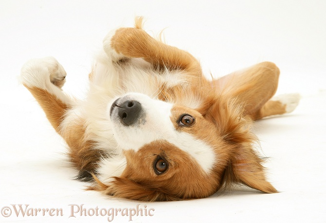 Sable Border Collie Lollipop lying on her back, white background