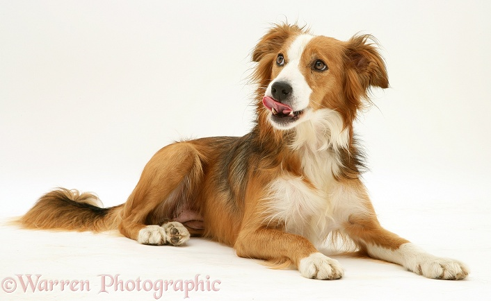 Sable Border Collie, Lollipop, lying head up, licking her lips, white background