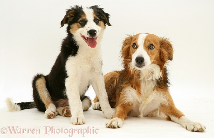 Tricolour Border Collie pup with his sable mother Lollipop, white background