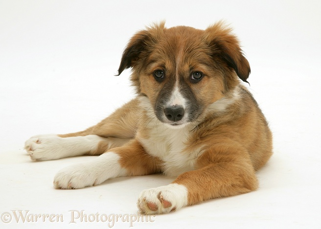 Sable Border Collie pup lying head up, white background
